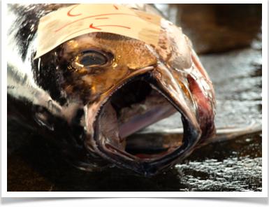 Tuna-banner